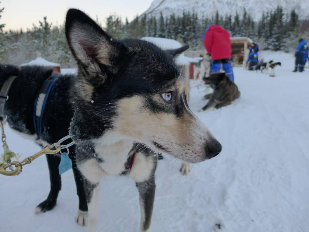 How to go dog sledding in Tromso, and why it's a must! How to plan your trip, what to do in Tromso, what to do in Norway | Tromso is 200 miles north of the Arctic Circle & perfect to visit for the Northern Lights and more! #dogsledding #tromso #norway