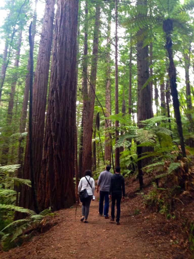 Hiking in the amazing redwoods around Rotorua, New Zealand