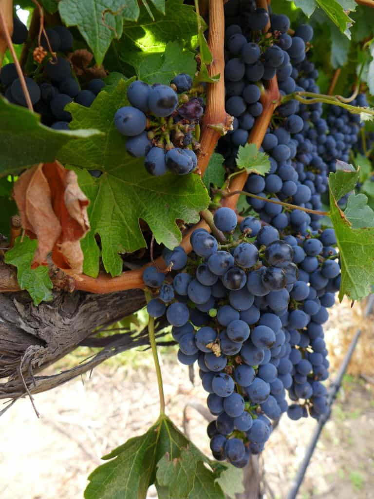 Grapes growing in Mendoza, Argentina