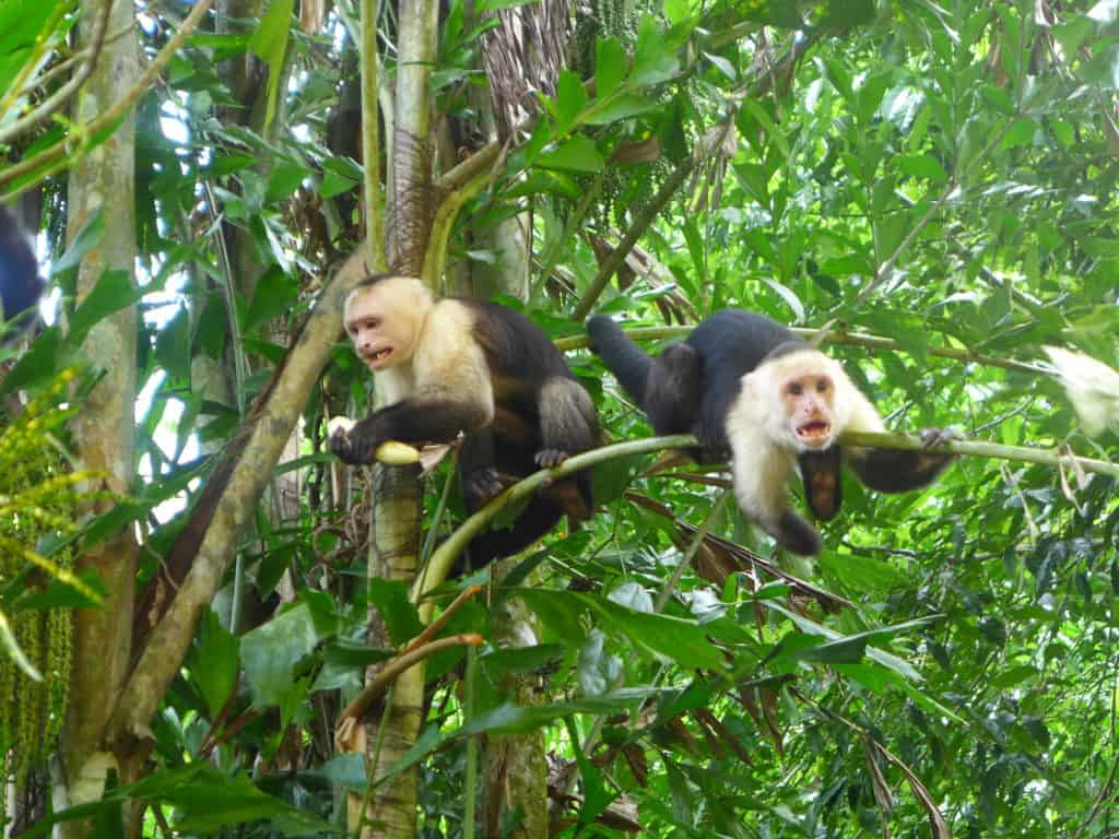 Monkeyin' around in Manuel Antonio National Park, Costa Rica