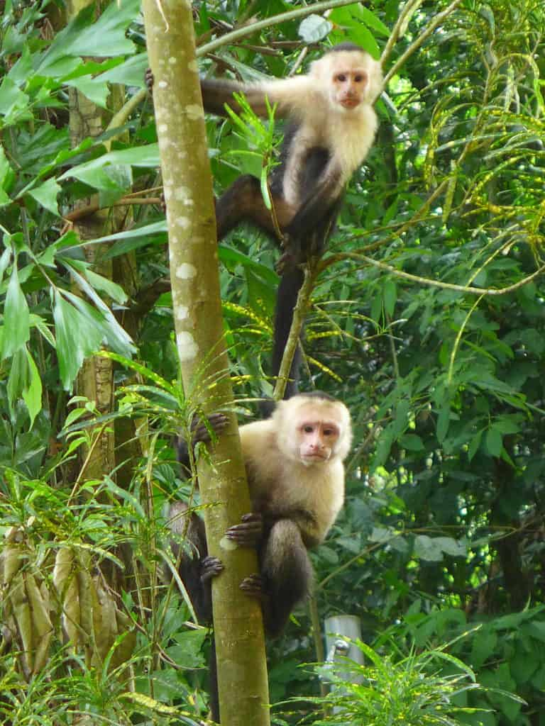 Visiting Manuel Antonio National Park, Costa Rica | Tips for planning your trip to Manuel Antonio National Park in Costa Rica - where to go, what to see and do, where to eat. And lots of monkeys! #manuelantonio #costarica #beach #monkeys