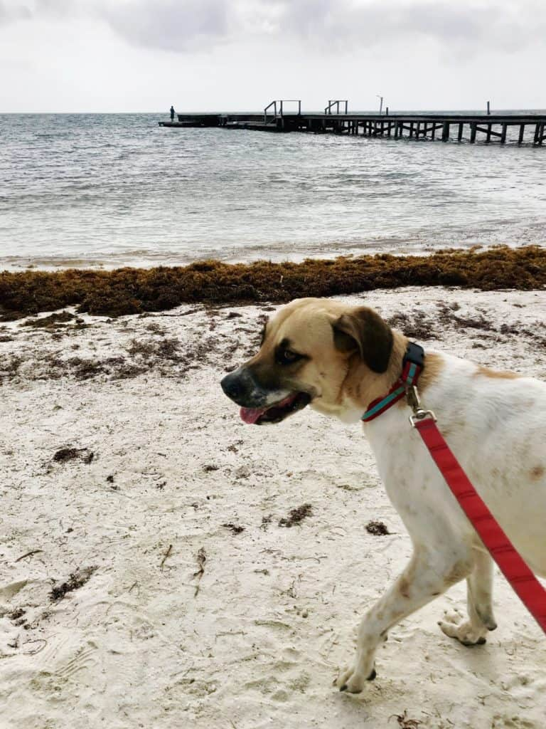 Take a dog for a walk at the Caye Caulker animal shelter, one of the chill things to do in Caye Caulker on your Belize trip