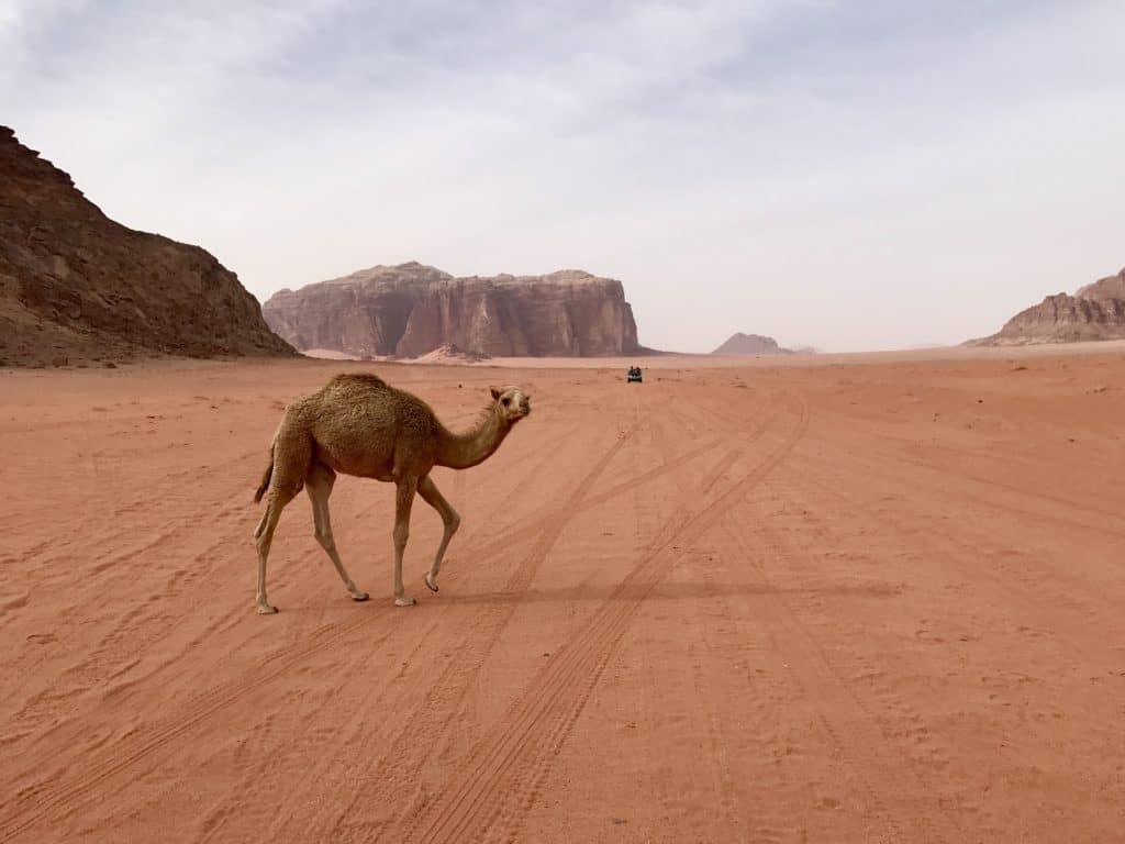 Baby camel in Wadi Rum