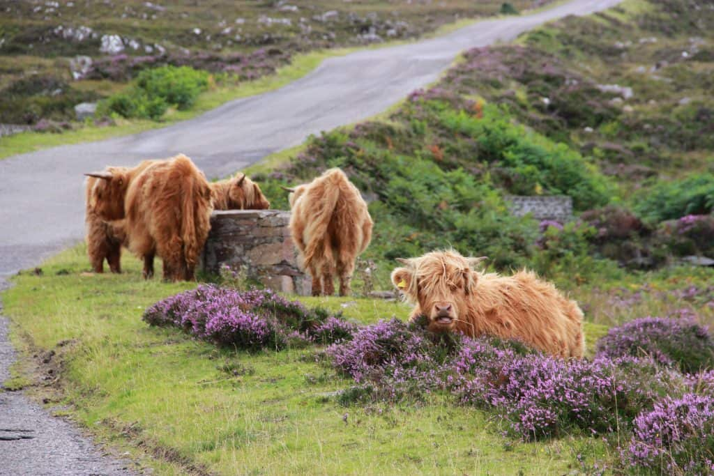 Scottish cows in the Highlands