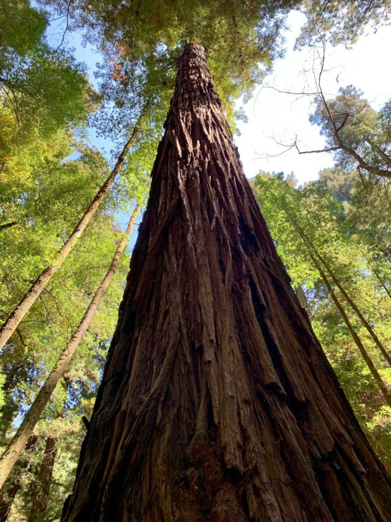 A crazy tall redwood in Armstrong Woods