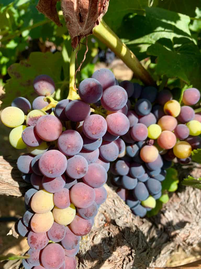 Sonoma Valley wineries - grapes ready to harvest