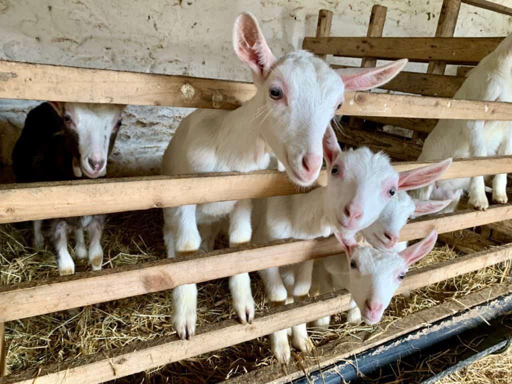 adorable baby goats on a Boyne Valley cheese farm