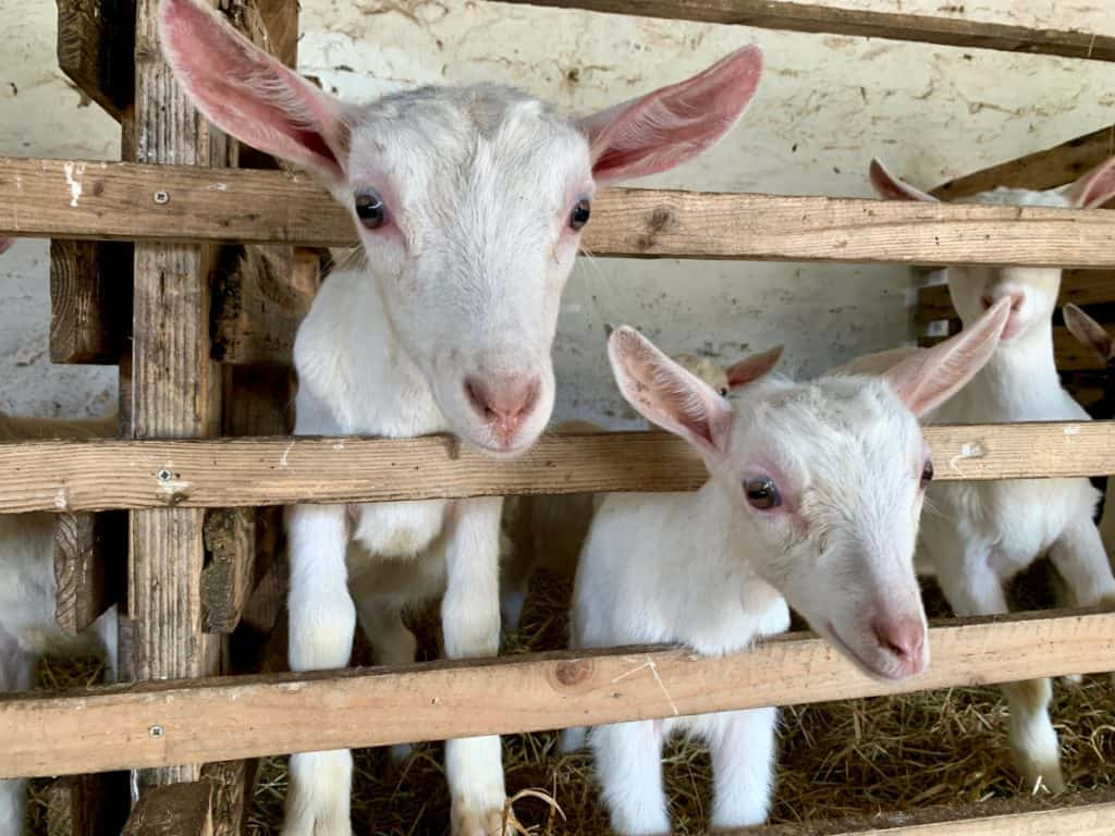 Adorable goats at Boyne Valley cheese farm