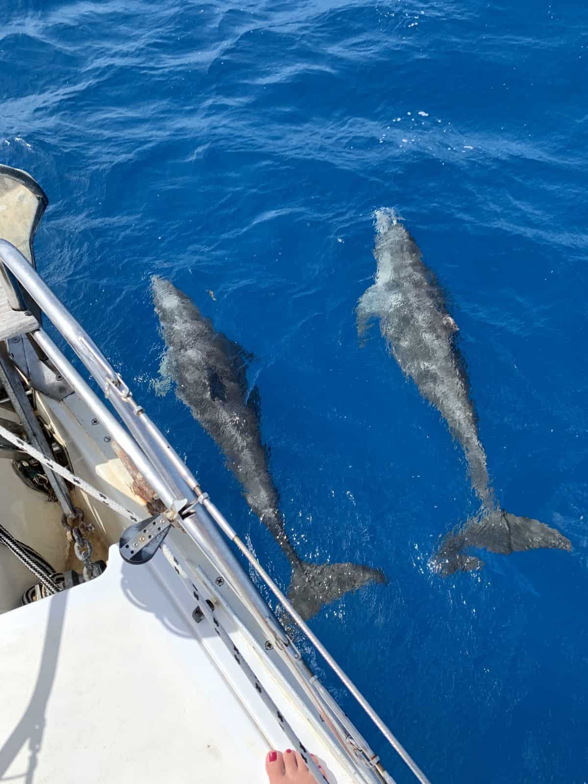 Schools of dolphins just came and swam with the boat for a while! What to expect on a multi-day sailing trip Key West to Dry Tortugas